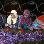 افزایش احتمالی قیمت زعفران مثقالی نگین