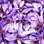 عرضه اسپری مخصوص زعفران در کشورهای اروپایی