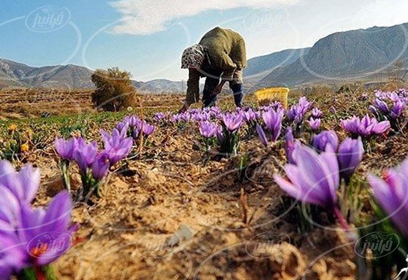 قیمت 3 مثقال زعفران در شهرهای بزرگ ایران