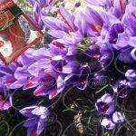ساده ترین راه سفارش زعفران توکلی