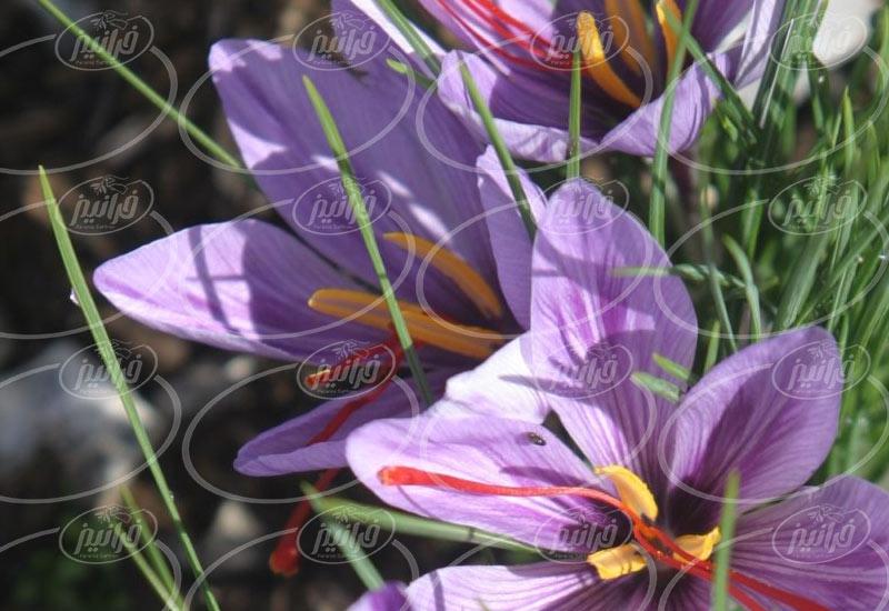 خریداری رنگ زعفران مجاز جهت صادرات به فیلیپین